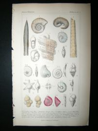 Cuvier C1835 Antique Hand Col Print. Shells #3A